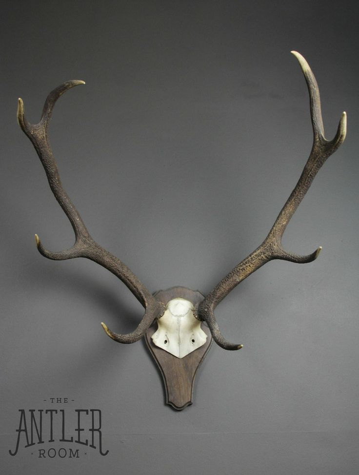 8 Point Scottish Red Deer Antlers on Shield #21.07