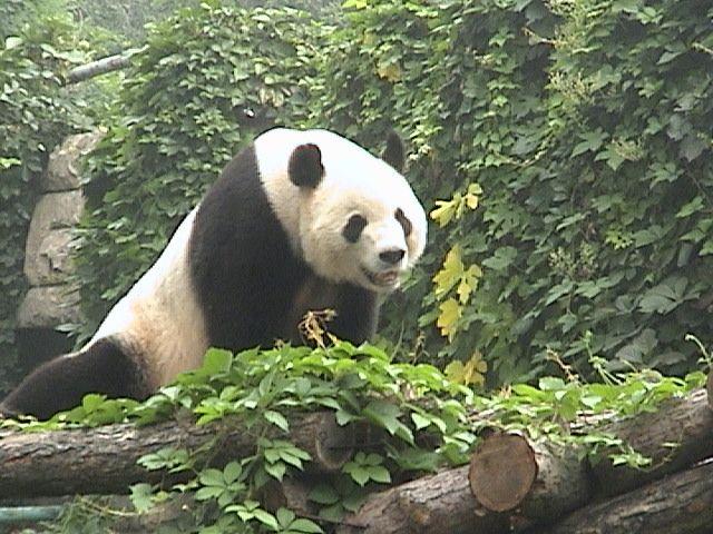 rainforest+animals | DSC07440pandasmile.JPG | Rainforest ...