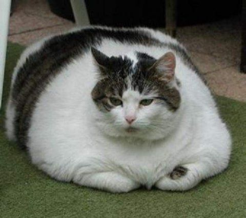 Check out these pics of Fat Cats: http://www.bite.ca/bitedaily/2012/05/animal-of-the-week-fat-cats/#: Big Cat, Funny Cat, Big Boys, Fat Animal, Pillows Pet, Fat Cat, Funny Stuff, Fatcat, Animal Funny