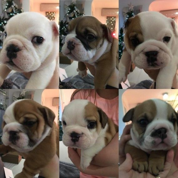 Amazing British Bulldog Puppies Liverpool Merseyside Pets4homes