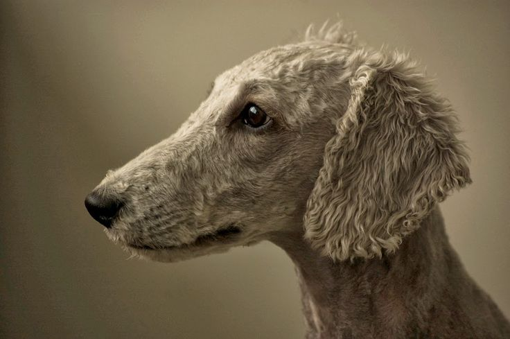 Bedlington Terrier - Top 10 Best Hypoallergenic Dog Breeds ~ The Pet's Planet