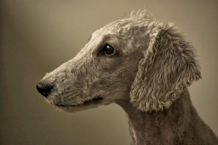 Bedlington Terrier - Top 10 Best Hypoallergenic Dog Breeds ~ The Pet's Planet