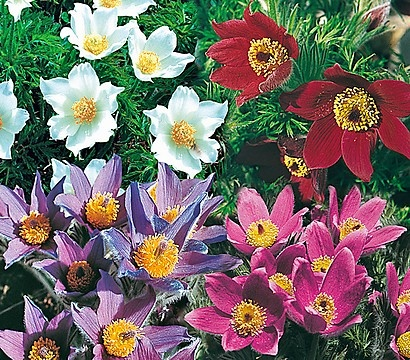Fiore Pasque comune - Pulsatilla