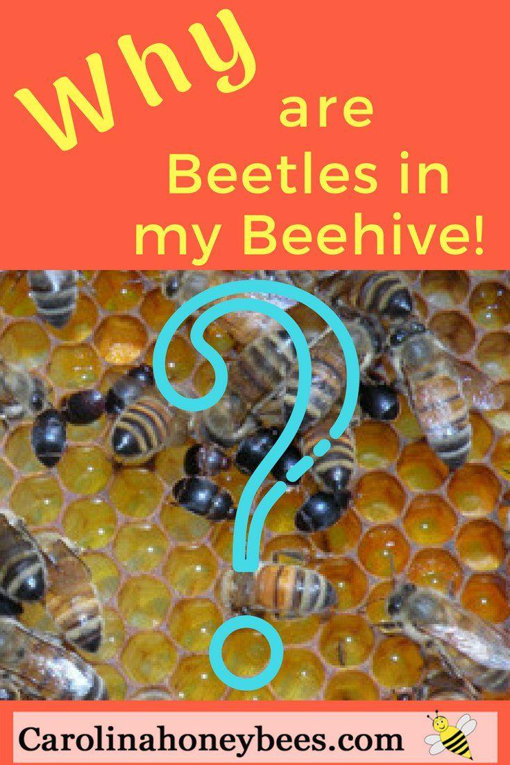 9f780a66d5fc3d508beddc8f89103934 - How To Get Rid Of Small Hive Beetle Larvae