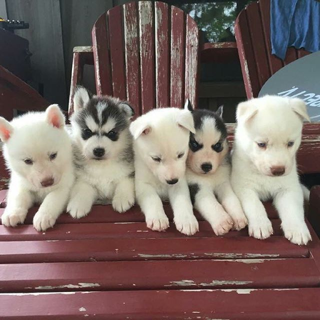Siberian Husky puppies sitting still...for about 2 seconds
