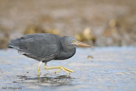 Reef heron. Adult stalking. Port Charles, Coromandel Peninsula, May 2009. Image © Neil Fitzgerald by Neil Fitzgerald Neil Fitzgerald: www.neilfitzgeraldphoto.co.nz