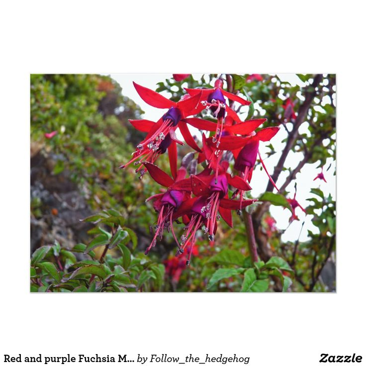 Red and purple Fuchsia Magellanica Card Red and purple Fuchsia Magellanica. Hummingbird Fuchsia or Hardy Fuchsia is a species of flowering plant in the Evening Primrose family, native to Patagonia. The picture was taken in Ushuaia, Argentina