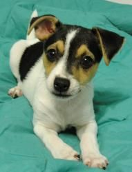 Macy / Jack Russell Terrier Mix *runt / Up-to-date shots / NOT house trained / NOT neutered