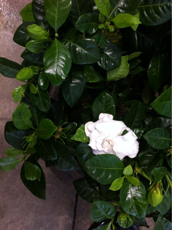 Gardenia (gardenia jasminoides): Your plant appears to be a gardenia, which grows best in acid soil and with warm day and night temperatures. Its white flowers have an intoxicating fragrance, but the plant is toxic to cats and dogs. Needs full or partial sun and regular water and feeding with a slow-release or organic fertilizer formulated for blooming gardenias.