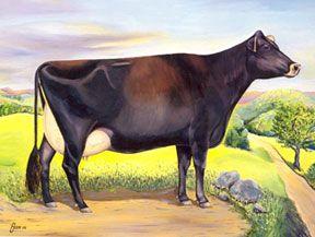 La vache Canadienne - Origines et Histoire