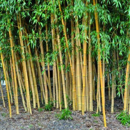 les 18 meilleures images propos de les plus beaux bambous pour le jardin sur pinterest. Black Bedroom Furniture Sets. Home Design Ideas