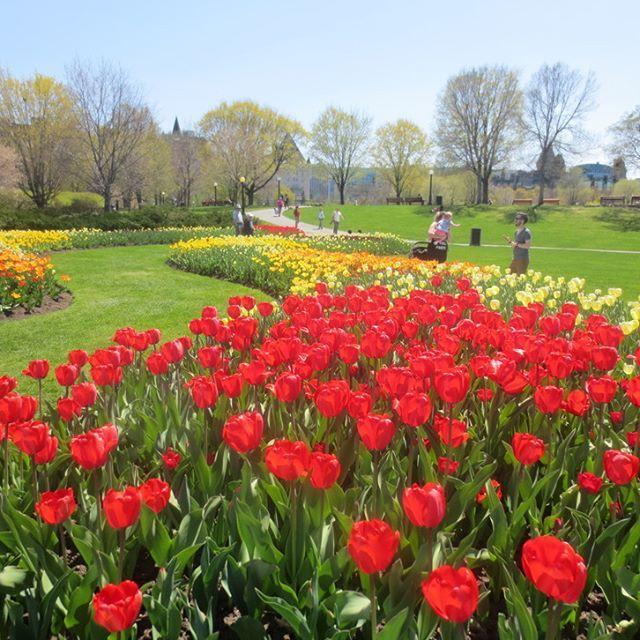 Festival canadien des tulipes/Canadian Tulip Festival - Ottawa, Canada  #OttawainBloom #MyOttawa
