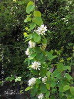 This 3' - 10' shrub covers itself in small white blossoms from April to June followed by dark fruit which is relished by birds. Adaptable to...