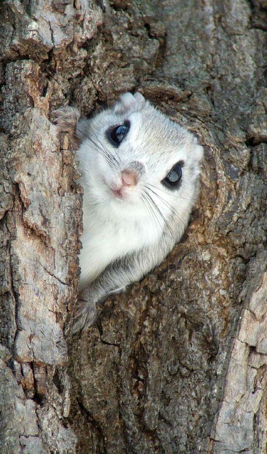 ~~Siberian Flying Squirrel by Mark Brazil~~