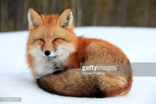 Red Fox Laying Down Related Keywords & Suggestions - Red Fox ...
