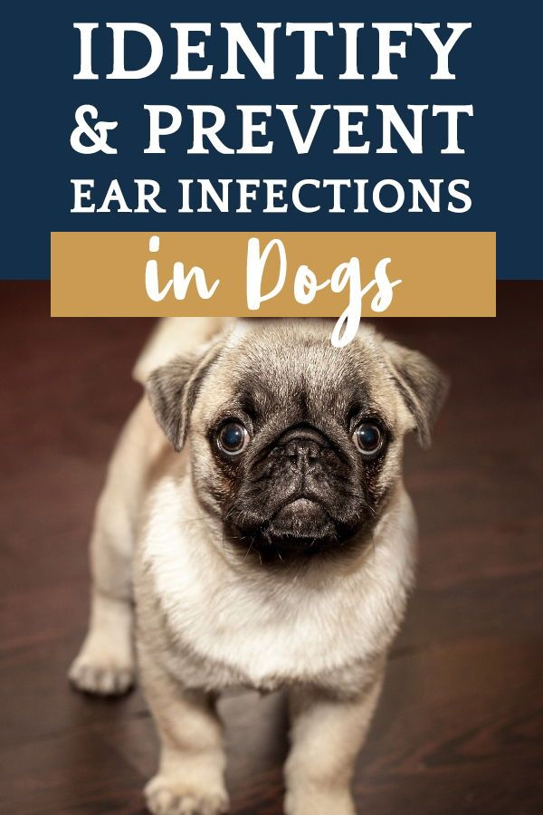 Identify Prevent Ear Infections In Dogs Dogs Ears Infection