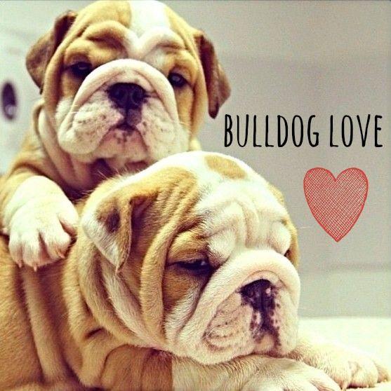 English Bulldog <3 ... The dog I definitely want some day.