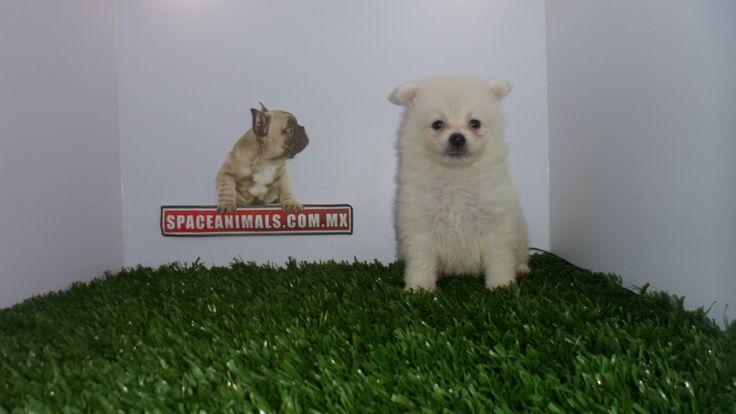 Disfruta cada momento con los mejores Cachorros de Pomerania lulu Si tu estilo es único y eres expert@ en tendencias... ¡Mereces el mejor cachorro solo visitanos en nuestra pagina web: http://www.ventadecachorrosperros.com/pomerania/ ¡Entra Gratis! entrega Garantizada. Ventas por Teléfono: (01)(229) 2.60.31.86 / (01229) 3.06.02.03 / ID Nextel 42*15*597183 Móvil 22.99.60.60.77 / 22.92.91.20.91 WhatsApp Si estás en el extranjero llámanos al +52 229 260 3186