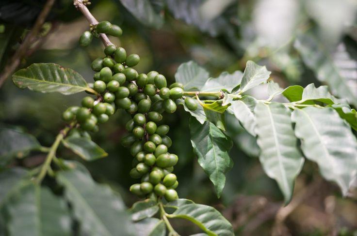Échange et visite des Blue Mountains en Jamaïque (Detour Local) -> Plantation de café dans les Blue Mountains www.detourlocal.com/echange-visite-velo-blue-mountains-jamaique/