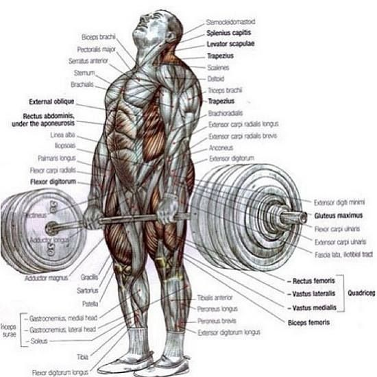 detailed muscle diagram – citybeauty,