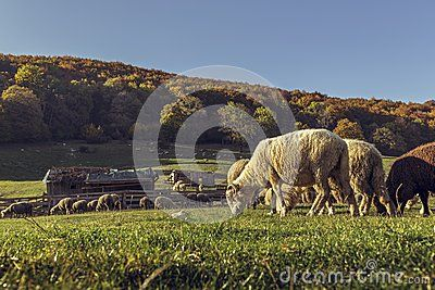 Sheepfold And Grazing Sheep Flock - Download From Over 28 Million High Quality Stock Photos, Images, Vectors. Sign up for FREE today. Image: 45579386