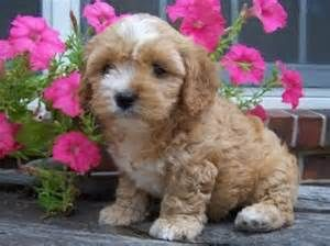 Cavapoo Rescue - Bing Images
