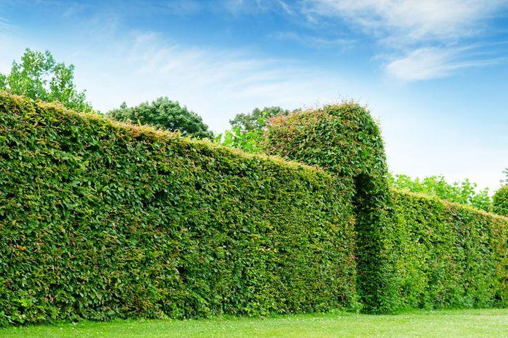 Plantas para cercos verdes conoce las m s recomendadas plantas para crear cercos verdes y - Cerco casa a miami ...