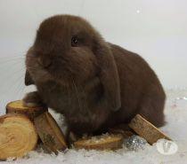 Photos Vivastreet Magnifiques bébés lapins nains pure race Mini lop