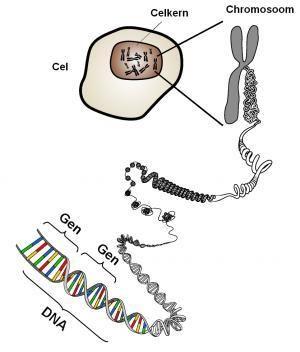 Verband tussen DNA, genen en chromosomen | erfelijkheid.nl