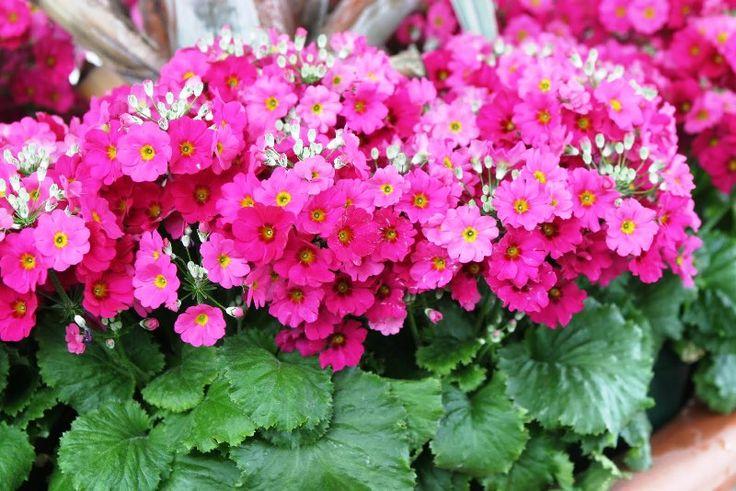hortikultura.mk_primula_10.jpg (800×534)