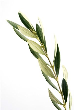 But for an Italian, as for most Mediterranean people, the olive tree has been seen throughout history as almost holy - a symbol of peace, victory, and the endurance of life itself - evoking feelings of harmony, vitality, and health.