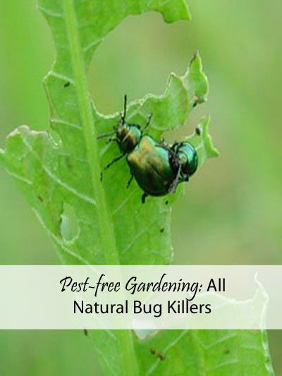 Learn How to Prevent This Destruction - All Natural Bug Killers for a pest-free Garden