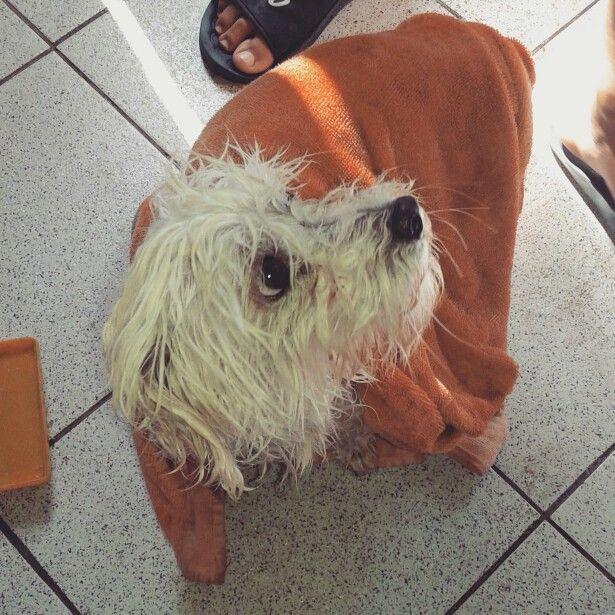 Se ve tan lindo después de secar a mi perro pompom