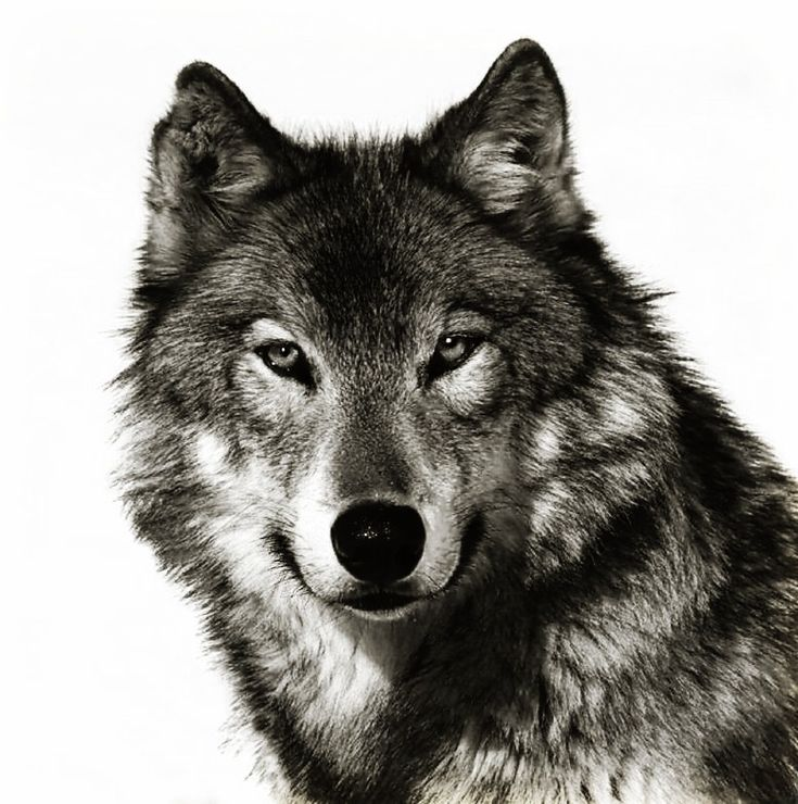 Wolf face coloring - photo#22