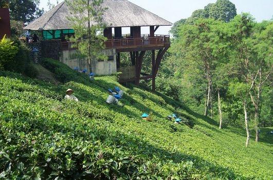 Wisma di perkebunan teh wonosari - lawang, malang