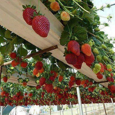 strawberry veranda