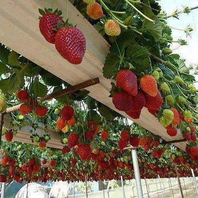 strawberry veranda