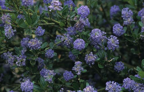 CALIFORINIA LILAC  (Ceanothus 'Victoria')  Evergreen bush (6ft tall by 4ft wide), SUN, drought tolerant  This selection is simply the hardiest of the California lilacs available and the most reliable for our climate. The brilliant bright indigo blue flowers are an absolute show stopper in the spring and look great against the shiny and dark evergreen foliage. This tough shrub is extremely drought tolerant once established and is a fast grower and will quickly fill an empty space.