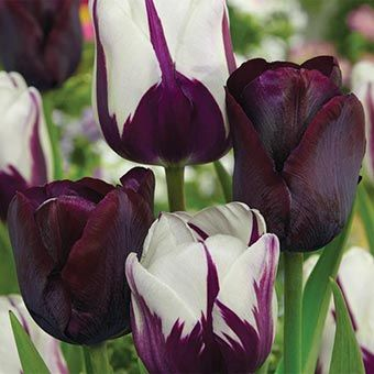 Blueberry Chocolate Tulip | Spring Hill Nursery | Highlight your mid- to late-spring garden with this mix. The deep purple and white of Rem's Favorite matches the solid black-purple of Queen of Night!