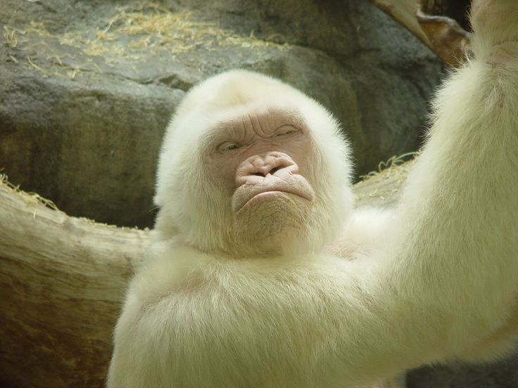 Copito, el gorila albino