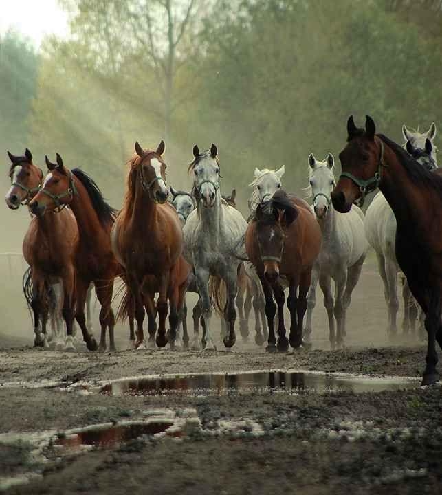 Konie arabskie-Janów Podlaski