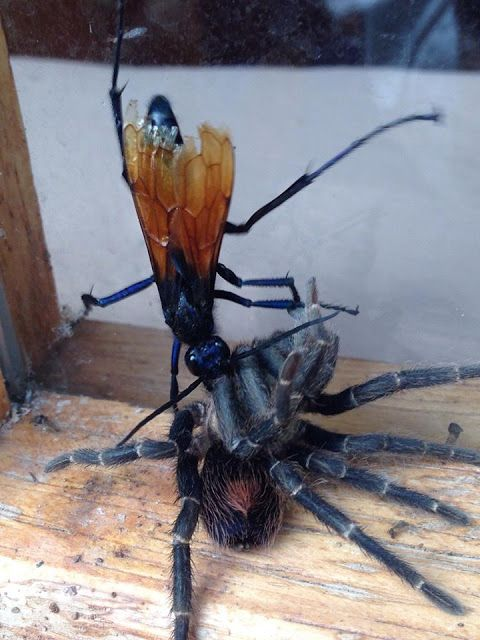 Shaping The Verde Valley: Tarantula Hawk Wasp