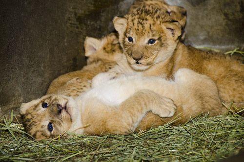 Woodland Park Zoo Olympics  Giraffe-Killing Copenhagen Zoo Euthanizes 4 Lions