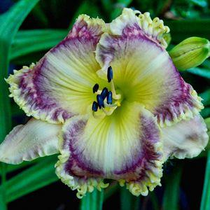 "MACKENZIE'S MAGIC (Dan Trimmer) Tetraploid (Asian Fairy Bluebird x Precious Candy) 29"" EM Re. Ev. This striking Ivory and plum bloom has a h..."