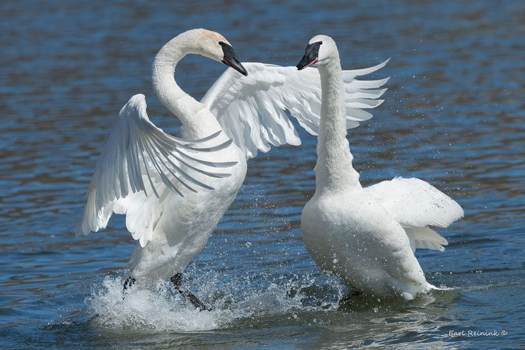 Male Trumpeter Swan struts his stuff for the ladies..