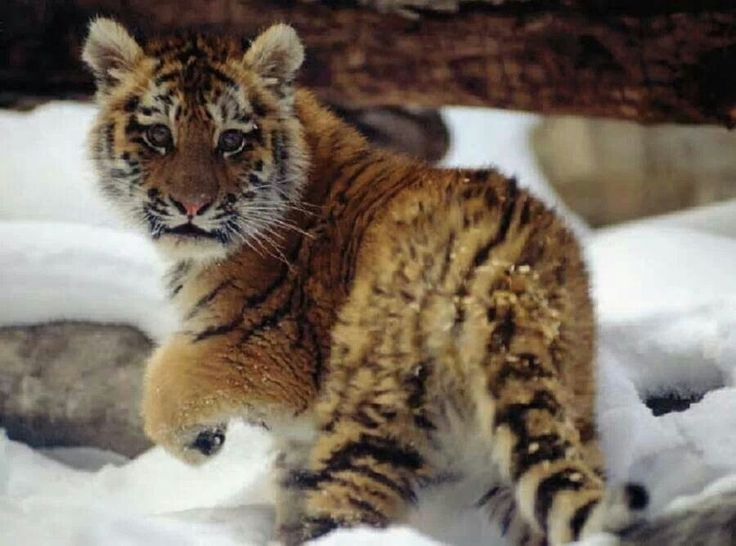 Just look at that face! Tiger Cub in the Snow