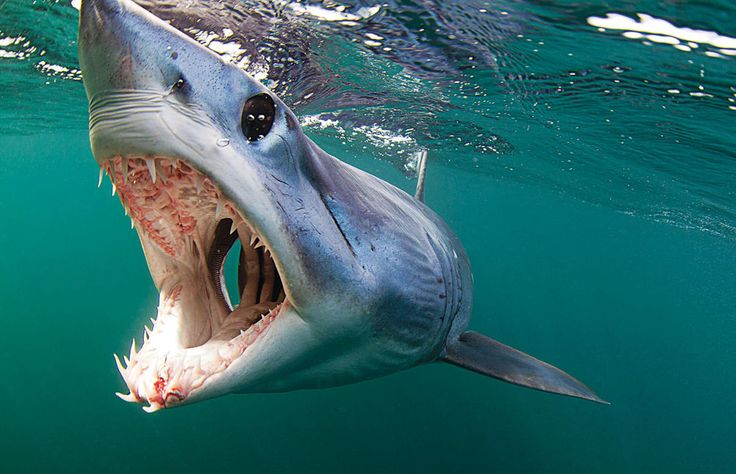 Where to dive with mako sharks