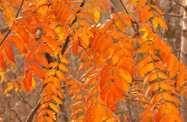Leaves of the mountain ash tree in autumn.