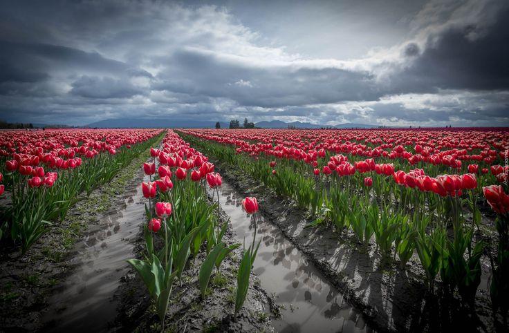 Czerwone, Tulipany, Uprawa