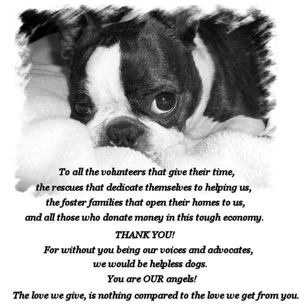 Rescue Volunteer Please Boston Terrier Boston Terrier Love Rescue